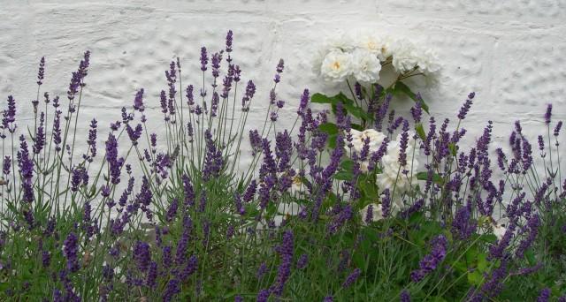 Lavendel och rosor