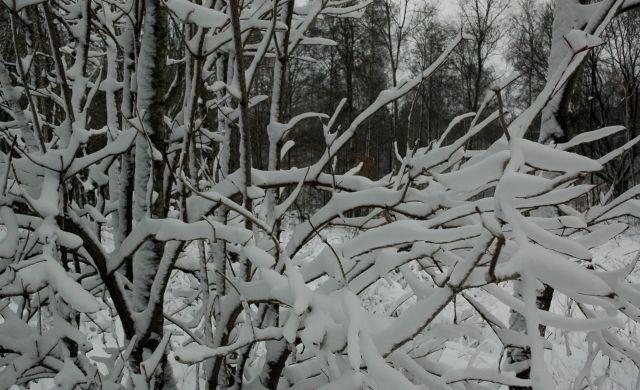 Snöig fläderbuske